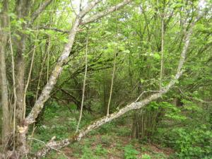 L arbre lyre